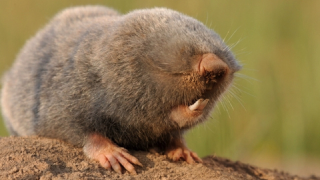 blind mole rat and fighting cancer